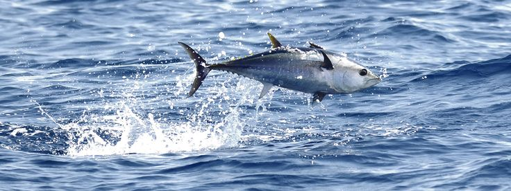 Atlantic bluefin tuna jumping out of water. Atlantic bluefin tuna are the largest and most endangered tuna.