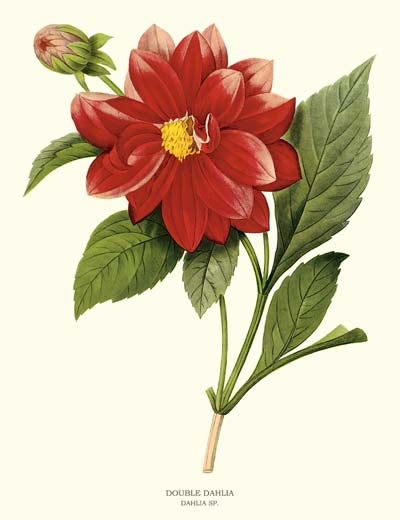 17 Best images about Botanical Dahlias on Pinterest ...