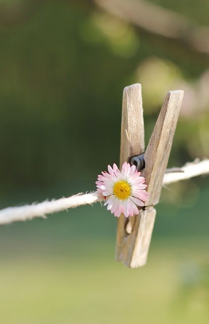 flower on clothes line.