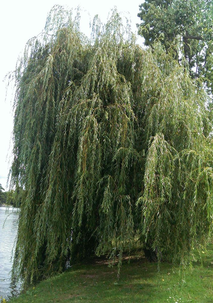 17 best images about trees for the landscape on pinterest for Weeping garden trees