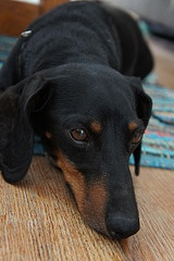 "My own rescue, Rocky, black/tan Miniature Dachshund from Omaha NE. Was surrendered at 8 wks old because the breeder ""Couldn't use him because he was born defective"". He was born the runt with many health issues, all of which are fixed today."