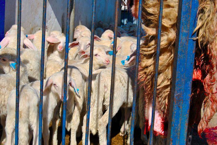 In einer Recherche in Italien wurden über ein Jahr hinweg die Hintergründe der Lammfleischindustrie untersucht und aufgedeckt. Informationen und das Video zur Recherche unter: http://www.animalequality.de/neuigkeiten/130/animal-equality-enth-llt-die-grausame-realit-t-f-r-l-mmer-italien