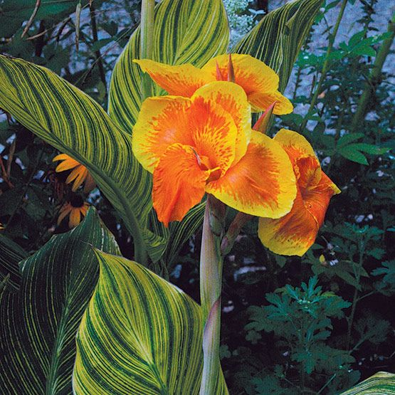 canna - like clay and poorly draining soil, great foliage and flowers in summer