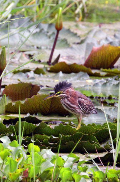 Green Heron.: Audubon Birds, Exotic Birds, Birds Watches, Birds Photography, Photo Birds, Natural Birds, Birds Rocks, Birds Boards, Birds Ey View
