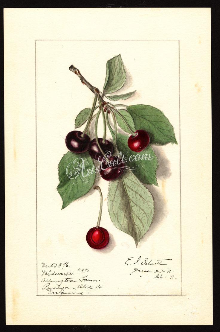 4629-Prunus avium-Valdurur      ...