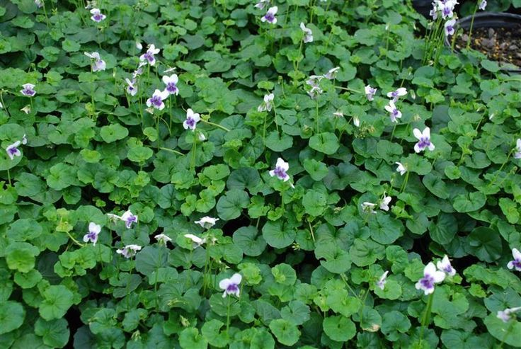 australian violet, great ground cover