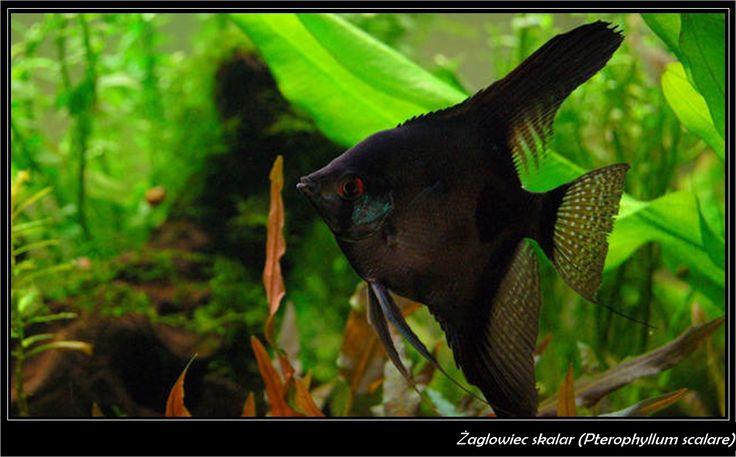 17 meilleures id es propos de pterophyllum sur pinterest for Schwarzer skalar