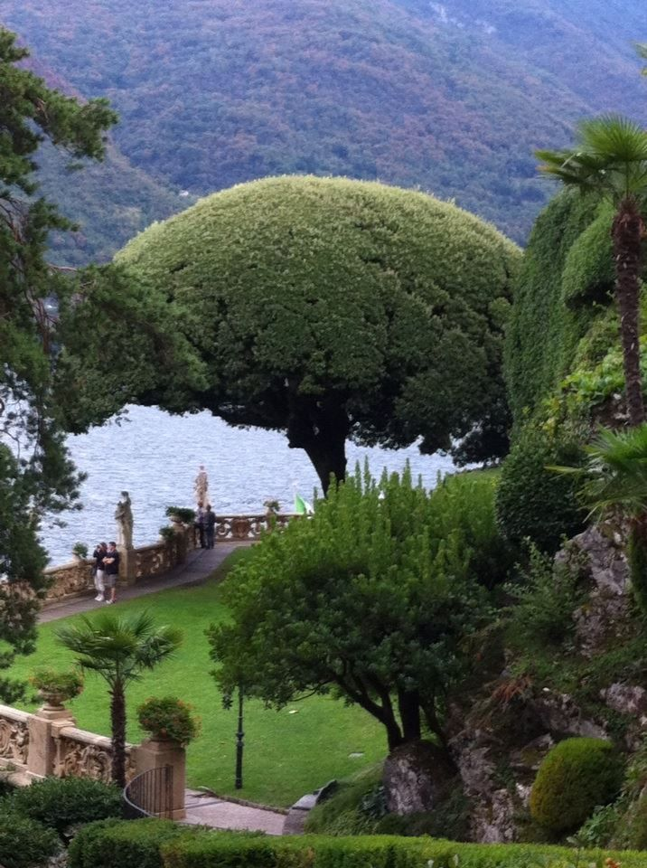 A beautiful holm oak pruned in an umbrella shape in the amazing gardes of Villa Balbianello