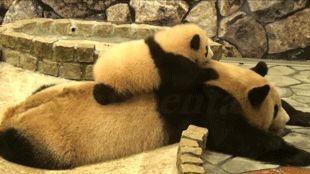 Baby Pandas are the best. | 21 Reasons Pandas Are The Most Important Animal