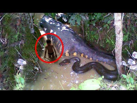World's Biggest Snake Anaconda Found in South America's Amazon River - YouTube