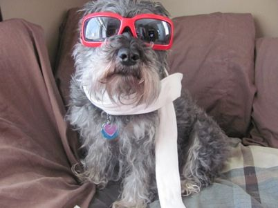 Ayla by I Love Dogs, Inc. #Miniature #Schnauzer