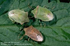How to control stink bugs.  This site also has lots of good info for tomato growers