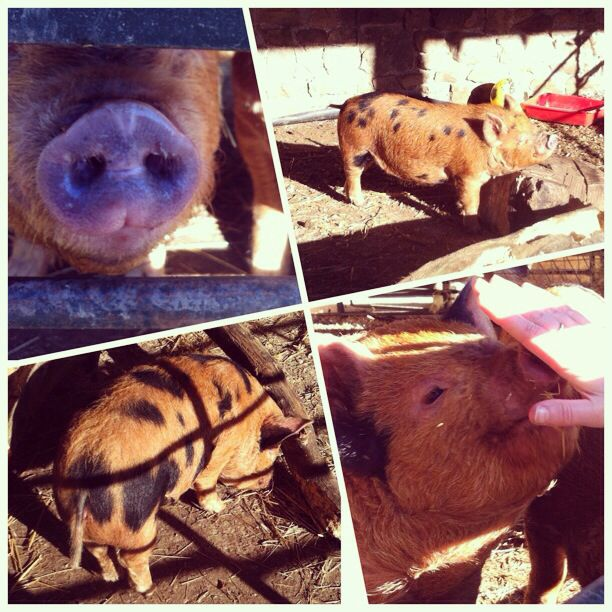#100happydays day 60 - Old down manor piggies :)