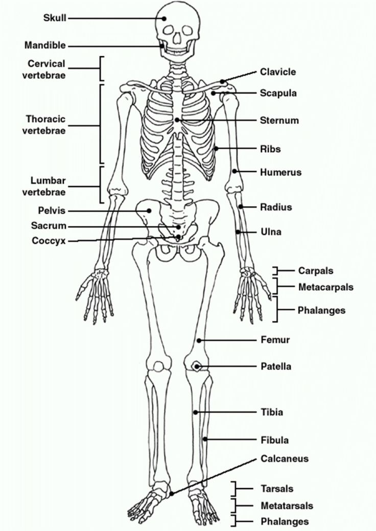 Human Skeleton Diagram Unlabeled . Human Skeleton Diagram