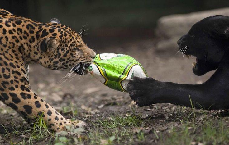 Arbitro, fallo! Il giaguaro nero usa le mani, avevamo detto solo piedi e denti… @Il Post http://www.ilpost.it/2014/06/14/weekly-beasts-68/… pic.twitter.com/h8gPxWSOvw