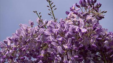 BBC Two - Gardeners' World, 2011, Episode 16, Wisteria pruning