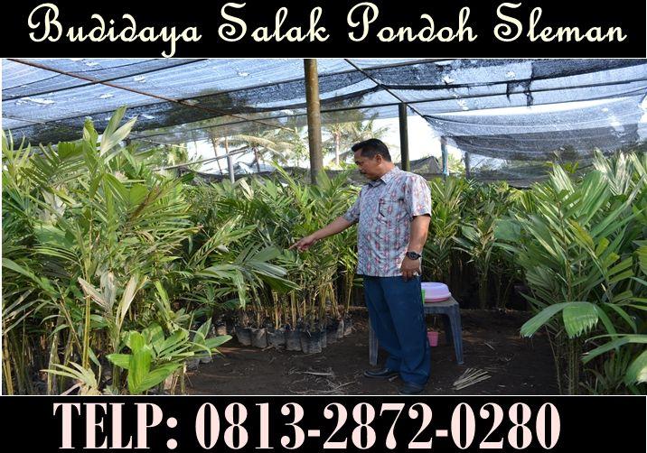 Bibit Salak Pondoh Sleman Madu. Pemesanan HUB : 081328720280 (Bpk. Subambang) Aktif 24 jam nonstop.