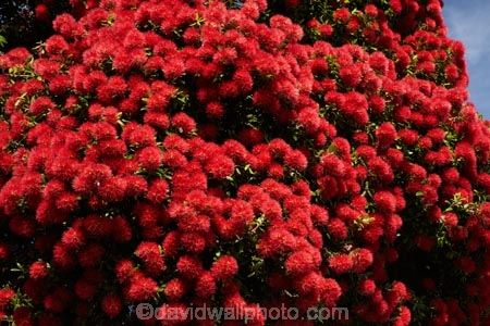 Akaroa;Akaroa-Harbour;Banks-Peninsula;Canterbury;flower;flowers;metrosideros-excelsa;N.Z.;native;native-plant;native-plants;New-Zealand;NZ;plant;plants;pohutakawa;pohutakawas;pohutukawa;pohutukawa-flower;pohutukawa-flowers;pohutukawa-tree;pohutukawa-trees;pohutukawas;S.I.;South-Is;South-Island;summer;tree;trees