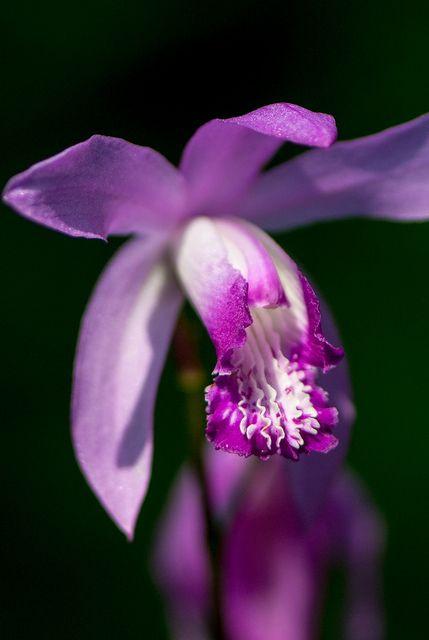 Bletilla striata / 'Chinese Ground Orchid'