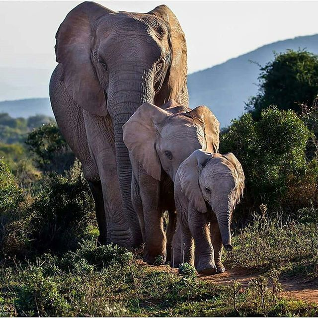 beautiful family. .!! Credit : @iloveelephant262 - ELTEESHOP.COM For info about promoting your elephant art or crafts send me a direct message @elephant.gifts or emailelephantgifts@outlook.com . Follow @elephant.gifts for inspiring elephant images and videos every day! . . #elephant #elephants #elephantlove