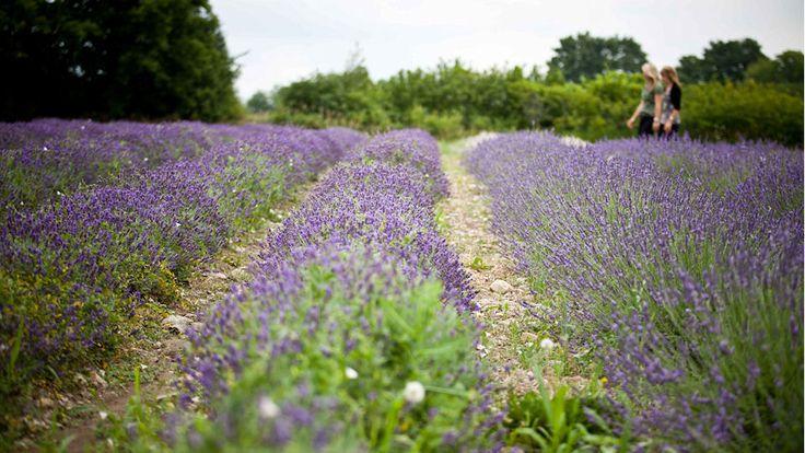Lavender Festival (July) - peclavender.com
