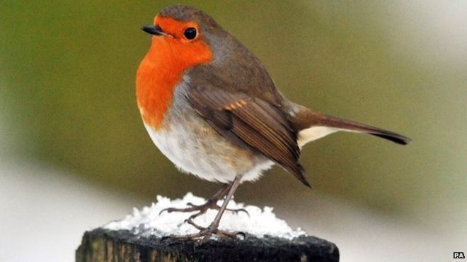 "A robin - The robin has topped a poll of more than 200,000 people to choose the UK's first national bird. Ornithologist David Lindo - who launched the campaign - said the robin was ""entwined into our national psyche"" as a ""Christmas card pin-up"". He now plans to ask the government to officially recognise the robin as the national bird. The red-breasted bird received 34% of votes, followed by the barn owl, which received 12%, and the blackbird, 11%."