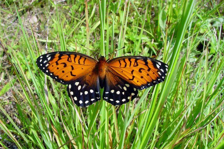 wallpaper BLACK BUTTERFLY | Orange and Black Butterfly HD Wallpaper | Animals Wallpapers