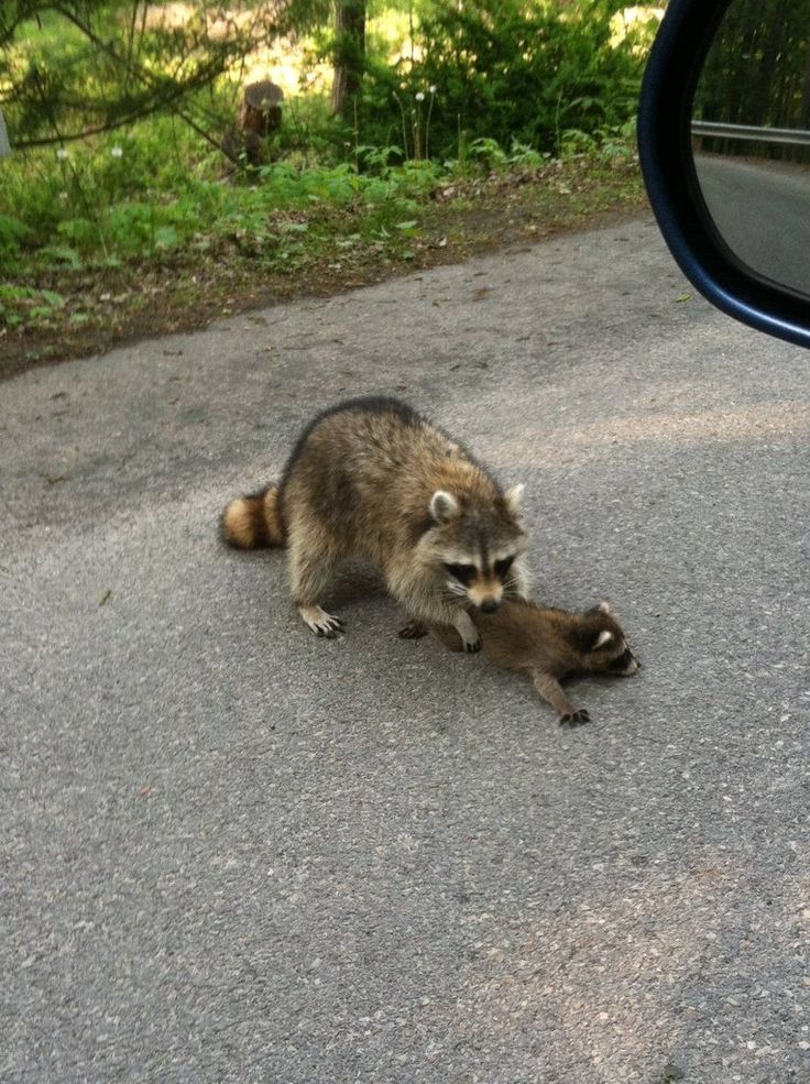 Raccoon pulling its baby out of the road