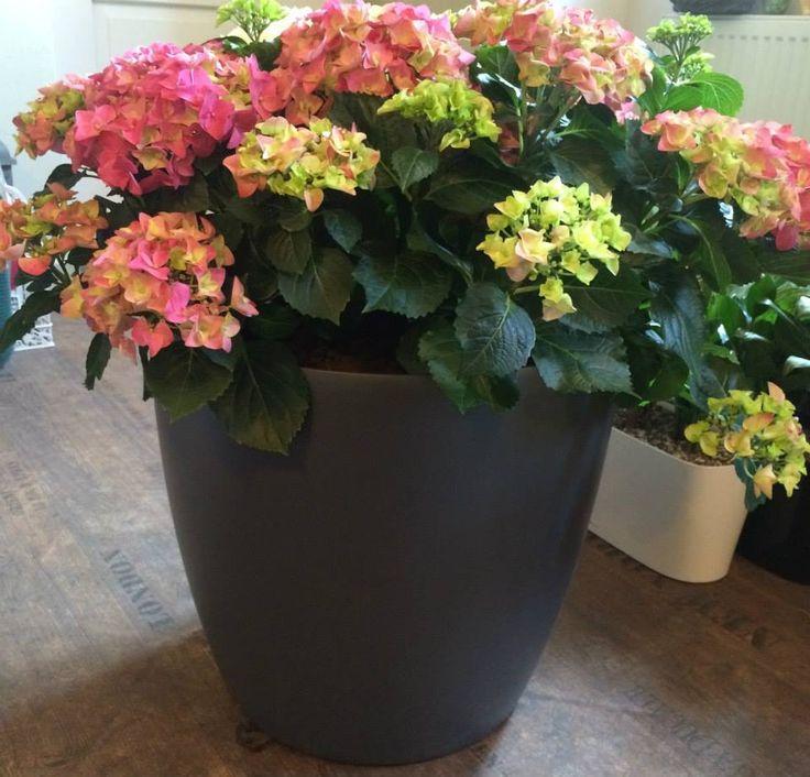 Hydrangea plant installation by ROSMARINO