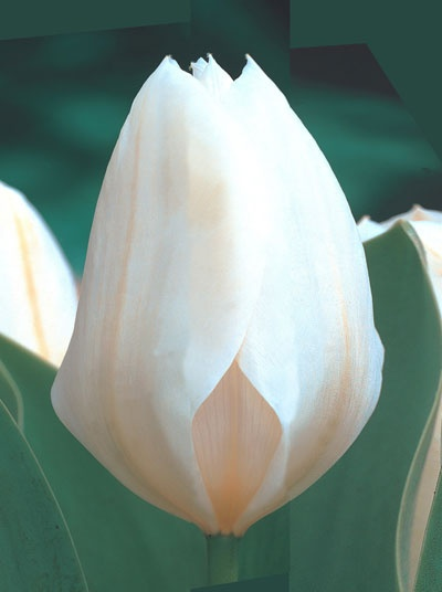Tulpan 'Purissima', Storpack:   (Tulipa gesneriana)   Kejsartulpan med gräddvita, doftande blommor. Blommar mycket tidigt. Fin både i rabatten och till snitt. Återkommer år efter år. Härdig i större delen av landet. Blir ca. 35 cm hög. Lökstorlek 11/12. 25 lökar.
