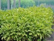 AUCUBA japonica Crotonifolia Akuba fidanı 30-40cm http://www.fidanistanbul.com/urun/512_aucuba-japonica-crotonifolia-akuba-fidani-30-40cm.html Fidan Satışı, Fide Satışı, internetten Fidan Siparişi, Bodur Aşılı Sertifikalı Meyve Fidanı Süs Bitkileri,Ağaç,Bitki,Çiçek,Çalı,Fide