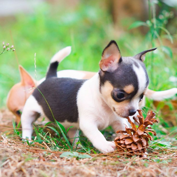 Black and white chihuahua puppy She has good posture and short legs. Follow us at instagram for more info about our puppies