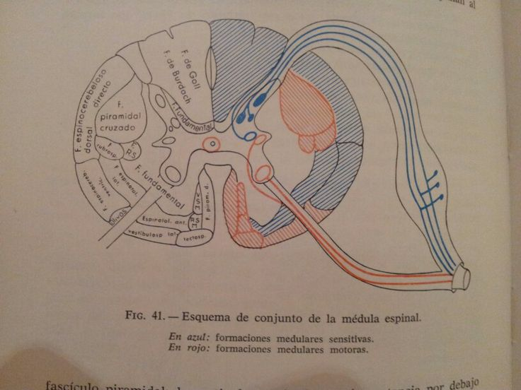 vias en medula espinal