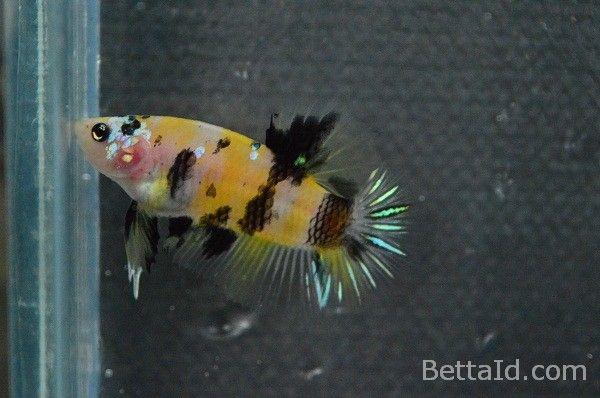 Ikan Cupang Plakat Koi Yellow Tiger PK10. Warna dominan kuning, kondisi ikan sehat, sirip ikan balance, tubuh proporsional, dan bermental bagus.  #ikan #cupang #plakat #ikancupang #bettafish