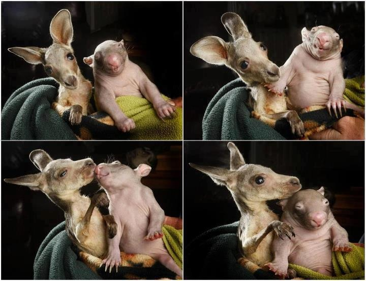 Talk about unlikely best mates! Two orphaned babies, one a kangaroo and the other a wombat, have ended up forming a close relationship after ending up at the same Australian rescue center. The two tiny animals sleep together, and the closeness of their heartbeats is likely of mutual comfort.