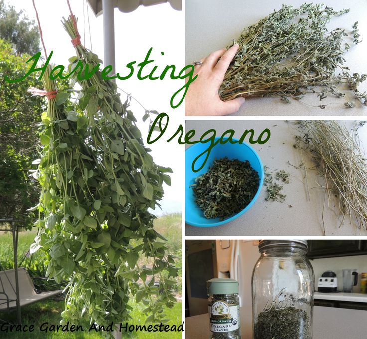 When and how to harvest oregano. This is really easy.