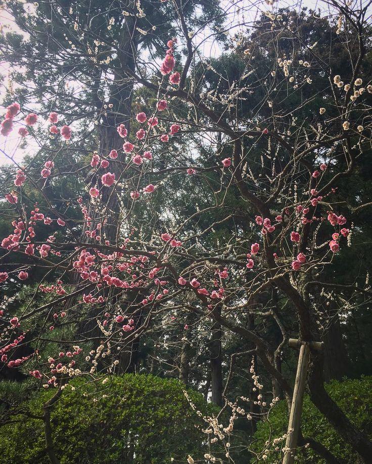 一本の木から赤い花と白い花が同時に咲いています ついつい赤い方をメインに写真を撮ってしまう(оо)  #偕楽園 #観梅 #木 #花 #うめ #ウメ #梅 #紅梅 #白梅 #思いのまま #水戸の梅まつり #kairakuen #kairakuengarden #tree #flower #flowers #ume #umetree #japaneseapricot #plumtree #umematsuri