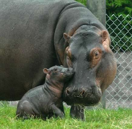 Mother hippo with calf.