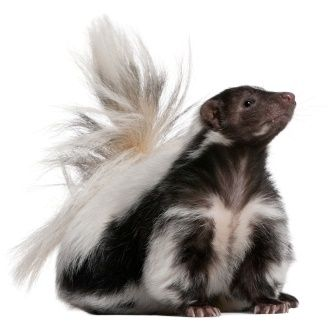 Striped Skunk Facts, Identification & Control