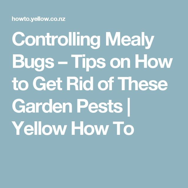 Controlling mealy bugs tips on how to get rid of these - How to get rid of bugs in garden ...