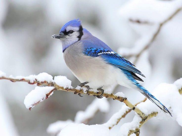 Kışın Honma Meiko mavi alakarga vektör