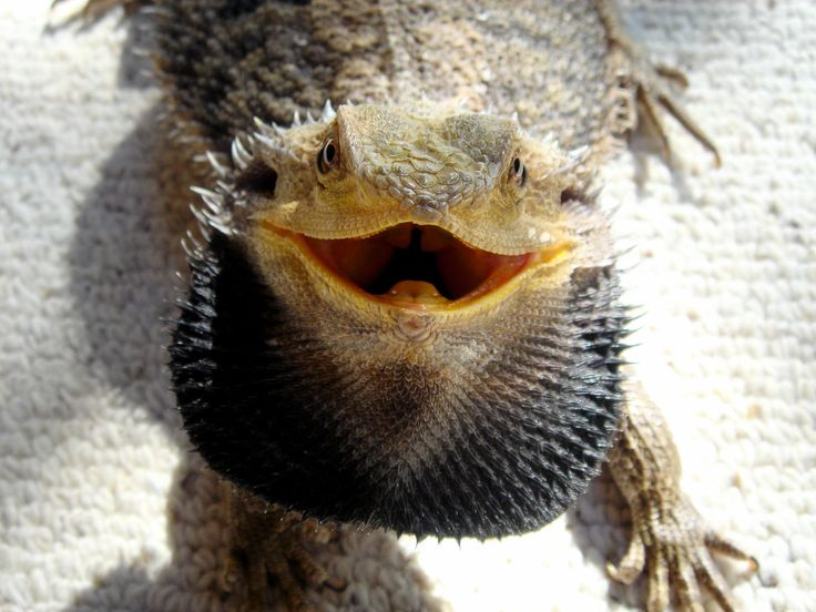 """This bearded dragon is angry. When a beards """"beard"""" is puffed out like in the photo it means he is agitated. The beard turns black when he's angry."""