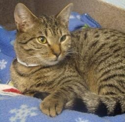 Garry Chapman is an adoptable Tabby - Brown Cat in Cumming, GA. IMy name is Garry Chapman, a cute little male tabby with beautiful long brown fur born around 8/2/2011. Currently I live at the adoption...