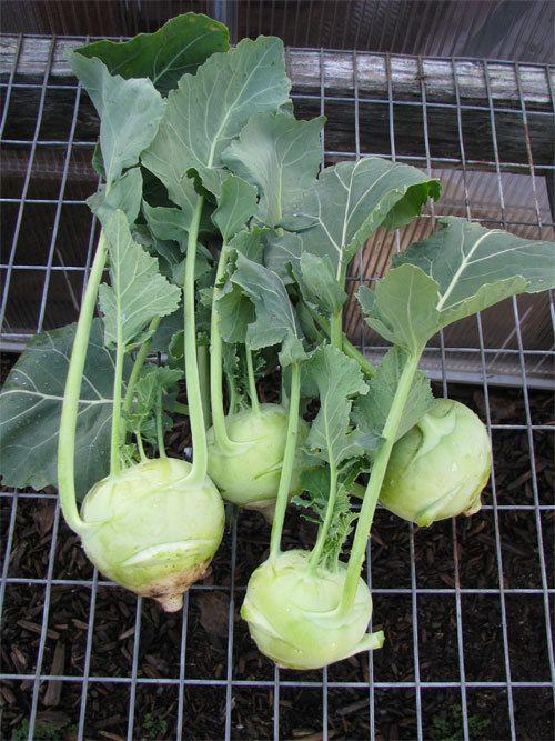 how to prepare kohlrabi leaves