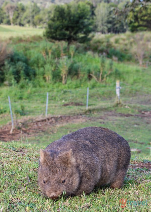 See wombats in Kangaroo Valley, Australia