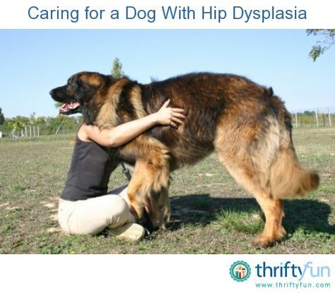 This guide is about caring for a dog with hip dysplasia. A dog can be miserable with this hip problem.