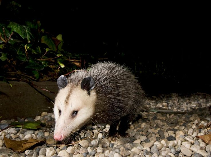 Opossums Could Hold the Key to Saving Snakebite Victims. Scientists have found a compound in opossum blood that neutralizes venom.