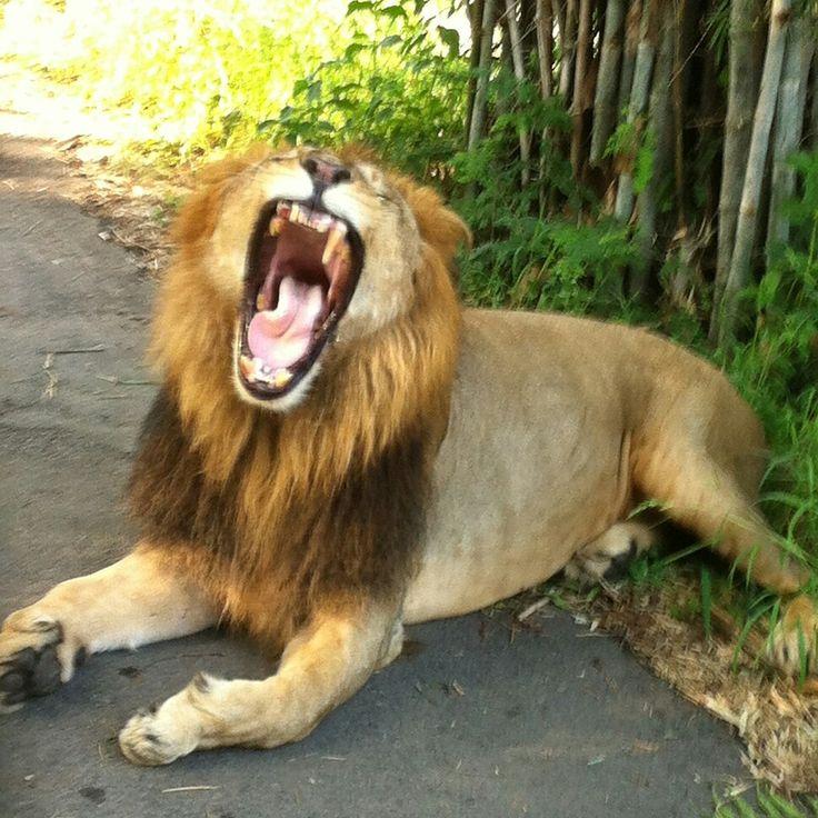 #lion #roar #zoo