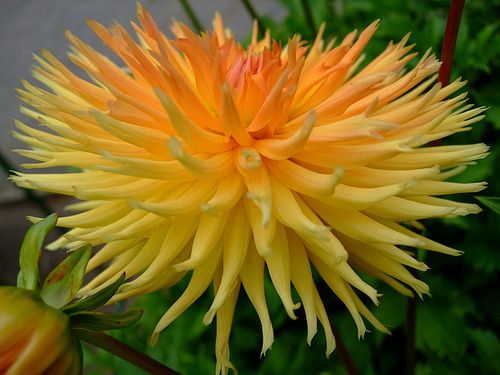 5234 best dahlias gardens bouquets and more images on pinterest