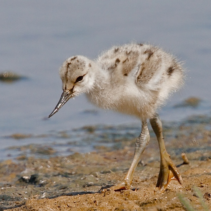 Norfolk Wildlife Trust - Gallery. Avocet chick at NWT Cley marshes on 02/06/2012. Contributed by:  Colin Scott.